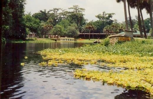 This vegetation floating on the water with a yellow hue is called water lettuce.