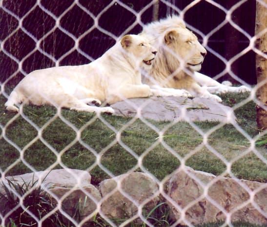 White Lions of Timbavati at Mirage Hotel