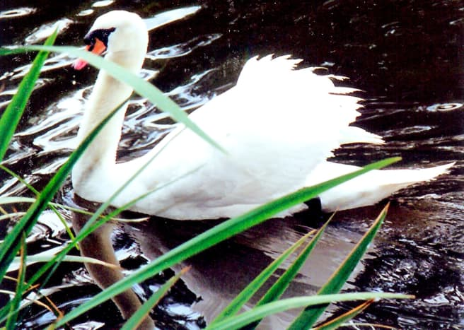 White swan on the Salado Creek alongside Los Patios
