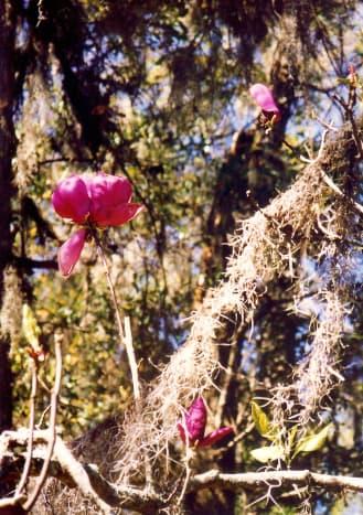 Spanish Moss at Maclay Gardens