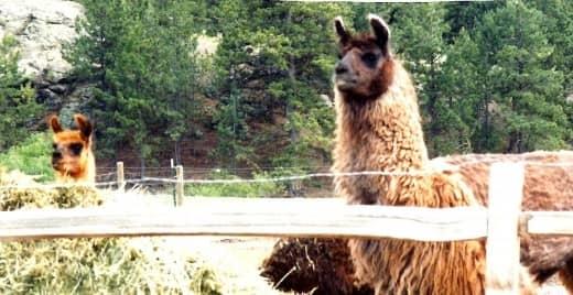 The llamas seemed as curious to look at us as we did at them!