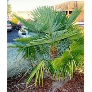Chinese Windmill Palm Tree