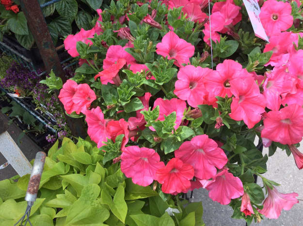 Petunias for sale at the farmers market