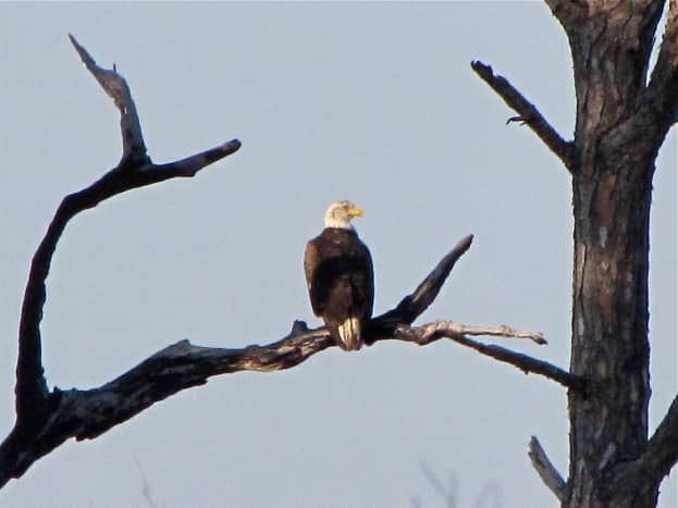 Bald Eagle in Honeymoon Island State Park.