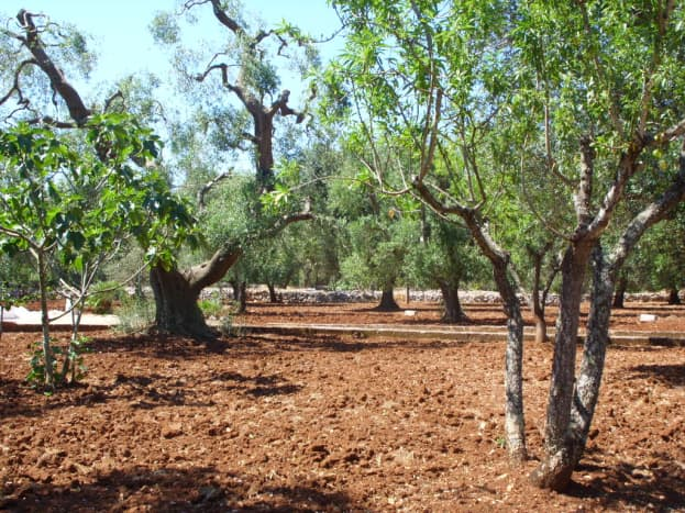 Our Olive Trees—making our own olive oil is something we look forward to.