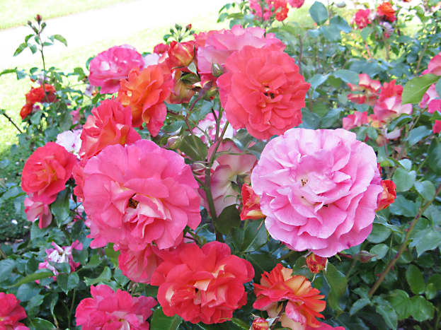 Roses of different colours