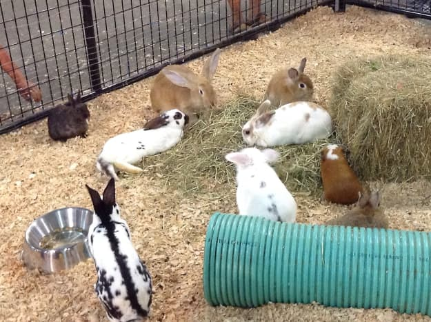Rabbits and a guinea pig