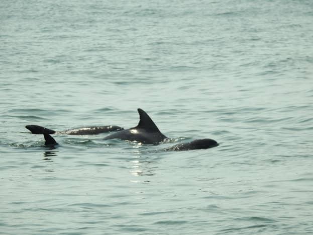 Dolphins off of Virginia Beach, Virginia
