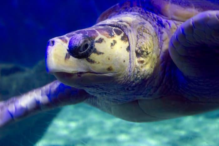 Sea Turtle at Virginia Aquarium & Marine Science Center in Virginia Beach, Virginia