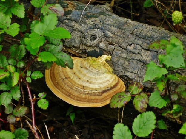 Beautiful turkey tail mushroom growing on a fallen tree at the Houston Arboretum