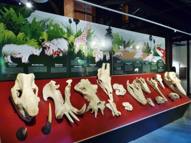 Skulls of different animals displayed