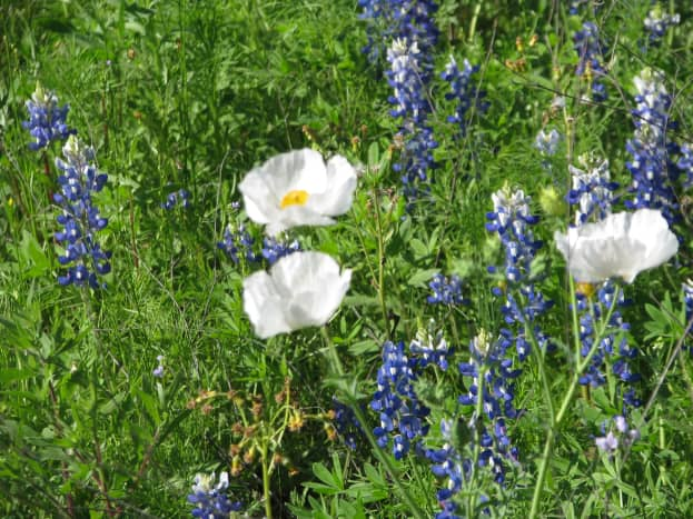 White Prickly Poppy has sticky, prickly leaves which cattle don't like to eat.  It is also somewhat poisonous.