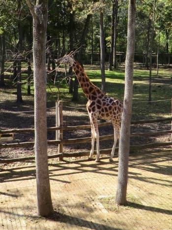 Giraffe at Szeged Zoo