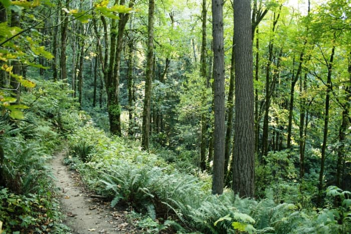 Wildwood Trail in Forest Park in Portland
