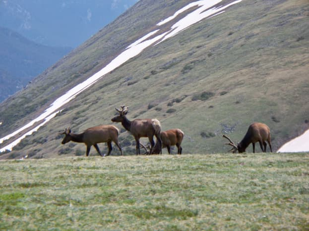 Elk near the Trail Ridge Road Summit in Rocky Mountain National Park