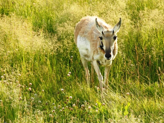 Pronghorn in Lamar Valley in Yellowstone National Park