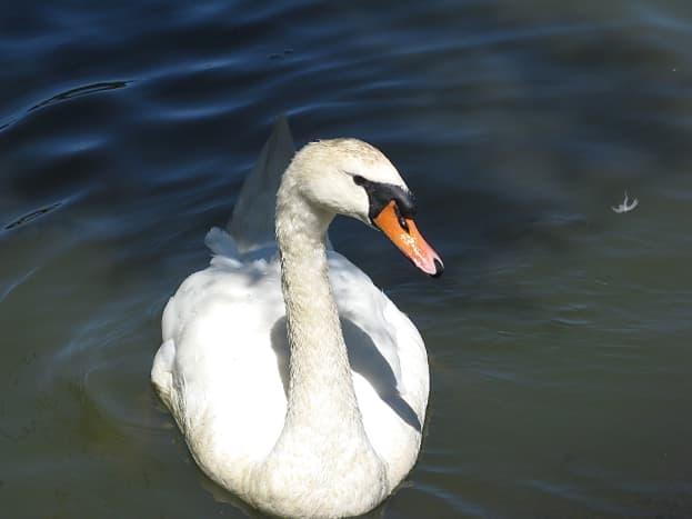 A mute swan at Lost Lagoon
