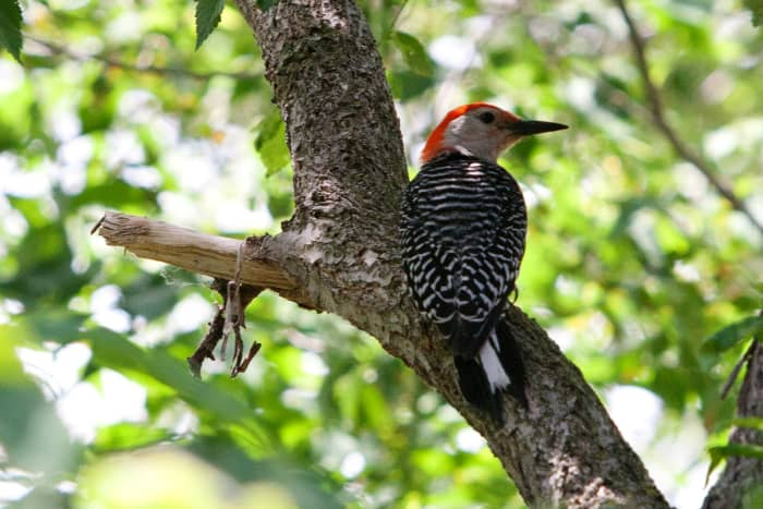 Red-bellied Woodpecker @ Bay Beach Wildlife Sanctuary  at Green Bay, Wisconsin