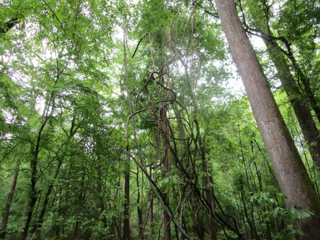 Photos of scenes along the Kingsnake Trail at Congaree National Park, Hopkins, South Carolina. This was a wonderful trail to hike. We did not see any alligators -- they live around the Congaree River farther down.