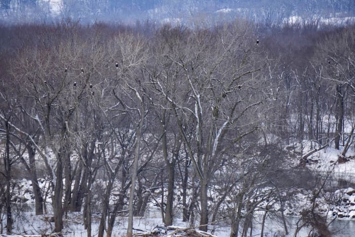 Bald Eagles in trees as viewed from Lover's Leap Overlook @ Starved Rock State Park.