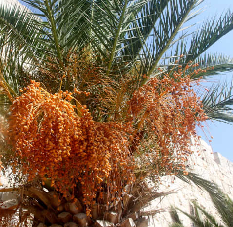 Date Palm loaded with dates