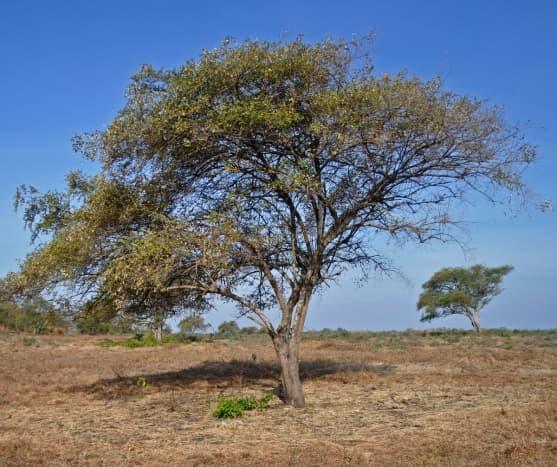 Ber Tree