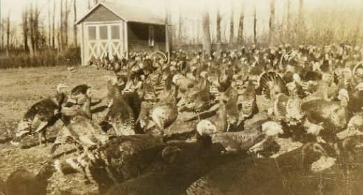 They raised loads of turkeys!
