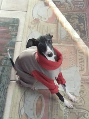 sweet-sadie-my-italian-greyhound-rescue-dog