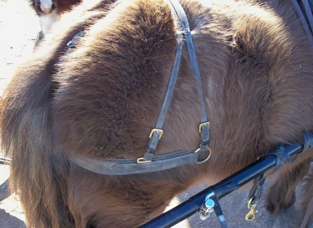 I keep my breeching holdback straps on my carts and carriages. This saves time while hitching, and makes sure the breeching adjustment is consistent.