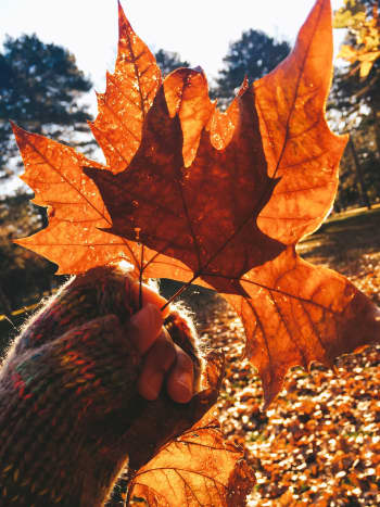 Maple leaves are just beautiful.