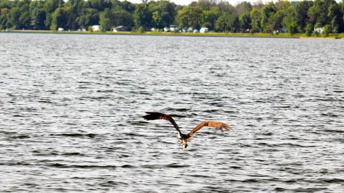 Oops! Someone's bait flew too close to the surface. Now it's an osprey's lunch.