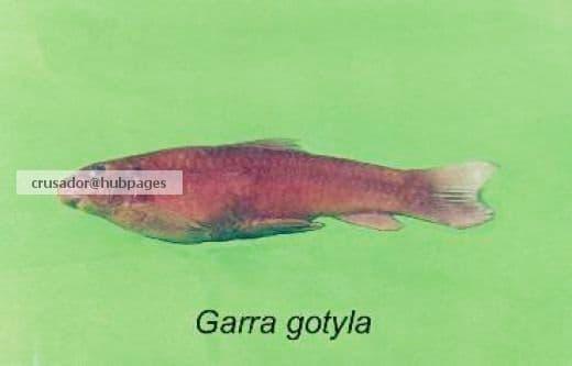 Garra gotyla