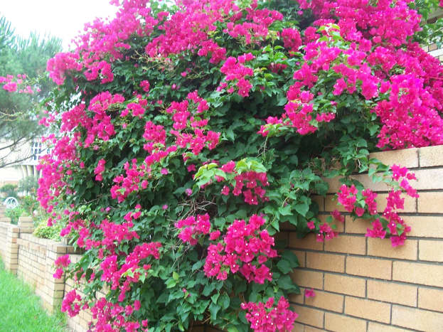 Bougainvilleas are the most colorful flowering plants but they can be rampant climbers.  Must be pruned to keep from getting too out of control.