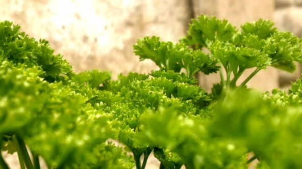 The Curly Leaved or French Parsley