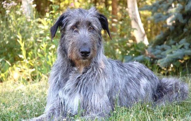 Deerhound 1
