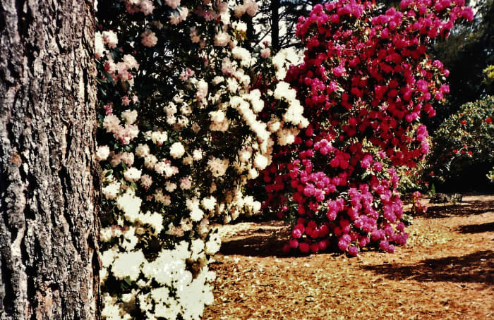 Rhododendrons in bloom in Golden Gate Park