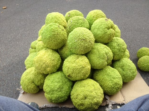 Building the layers of the Hedge Apple Christmas Tree