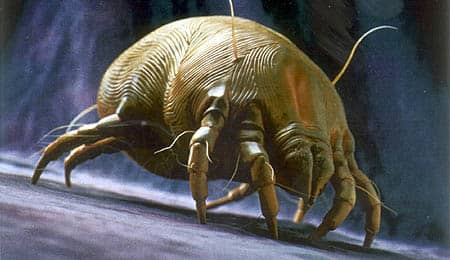 Here is exactly what a dust mite looks like. They are about 1/70th of an inch which is microscopic. You can not see them with the naked eye.