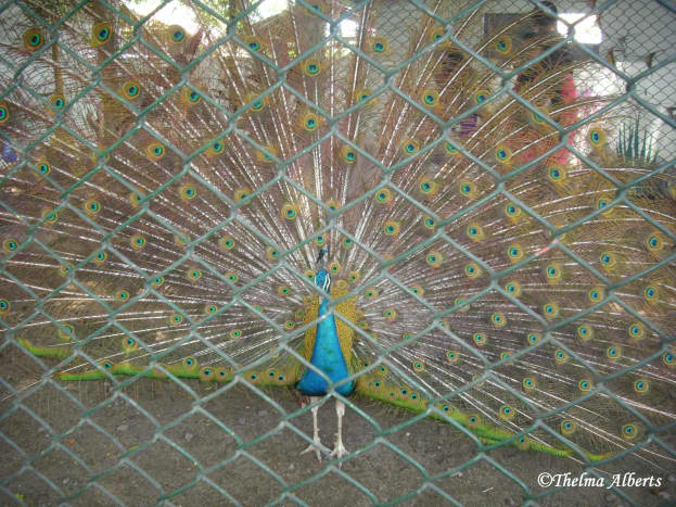 Pheasant at Davao Crocodile Park