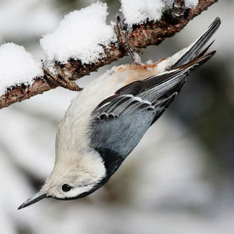 White-breasted Nuthatch in Algonquin Provincial Park, Canada, hanging from a tree branch. This image is not upside-down.
