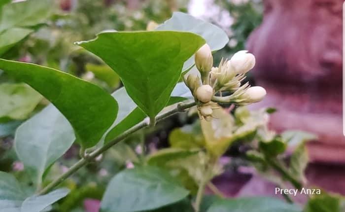 sampaguita-photos-and-experience-growing-arabian-jasmine
