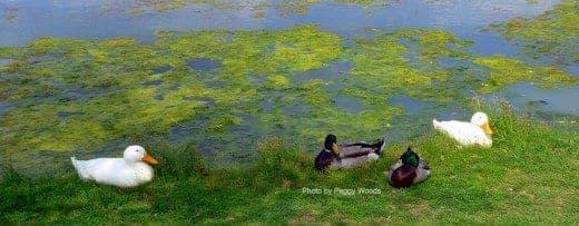 Pekin & Mallard Ducks in Mary Jo Peckham Park