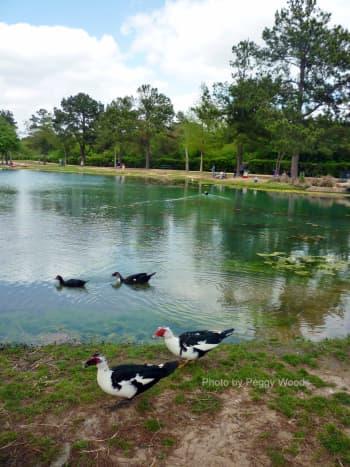 Muscovy Ducks in Mary Jo Peckham Park