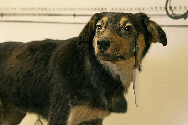 One of the many dogs Pavlov used in his experiments, Pavlov Museum Ryazan, Russia. Note the saliva catch container and tube surgically implanted in the dog's muzzle.  Image from Wikipedia
