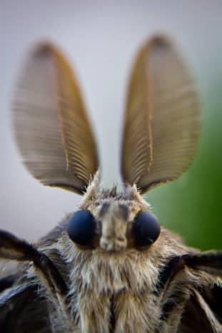 Macrophotography allows us to view this moth's antennas with extreme clarity. This view reminds me of a startled rabbit.