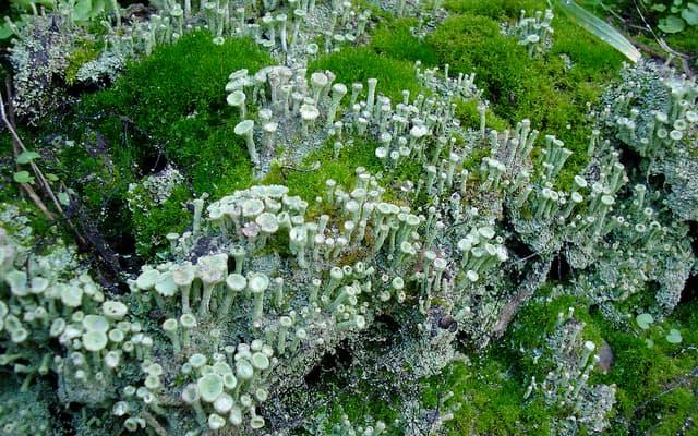 A green algae and a lichen fungi that have come together to form a lichen.
