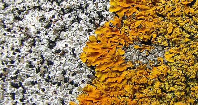 These two lichen seem to be in a battle for territory.