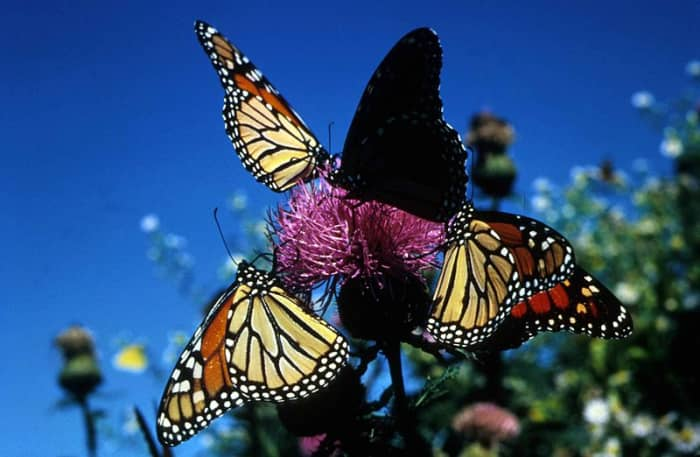 Monarchs gettting nectar from purple flowers.  Monarchs are commonly seen in Southern California.