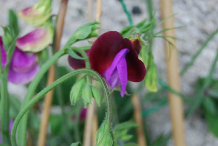 sweet-peas-easy-to-grow-fragranced-flowers