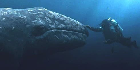 marine-mammal-facts-gray-whale-eschrichtius-robustus